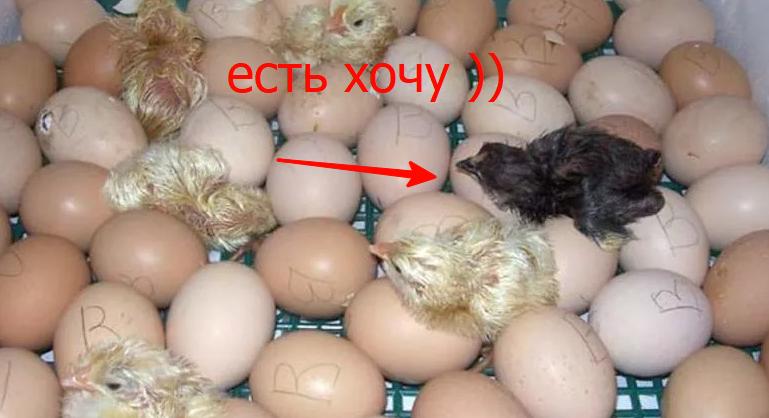 инкубация в инкубаторе птица